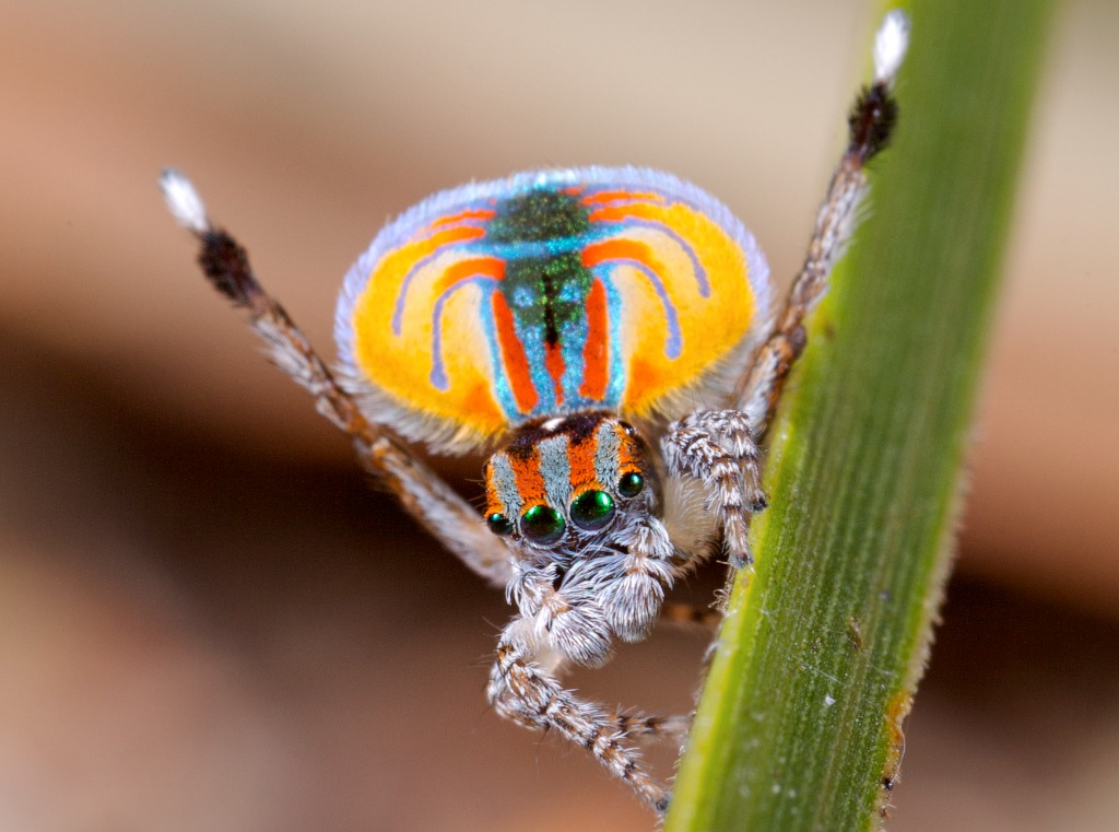 Jurgen Otto's famous photo of a Maratus volans in full mating display on a blade of grass. The eyes are metallic green, set in on a head of alternating orangered and grey stripes, with white-haired pedipalps.